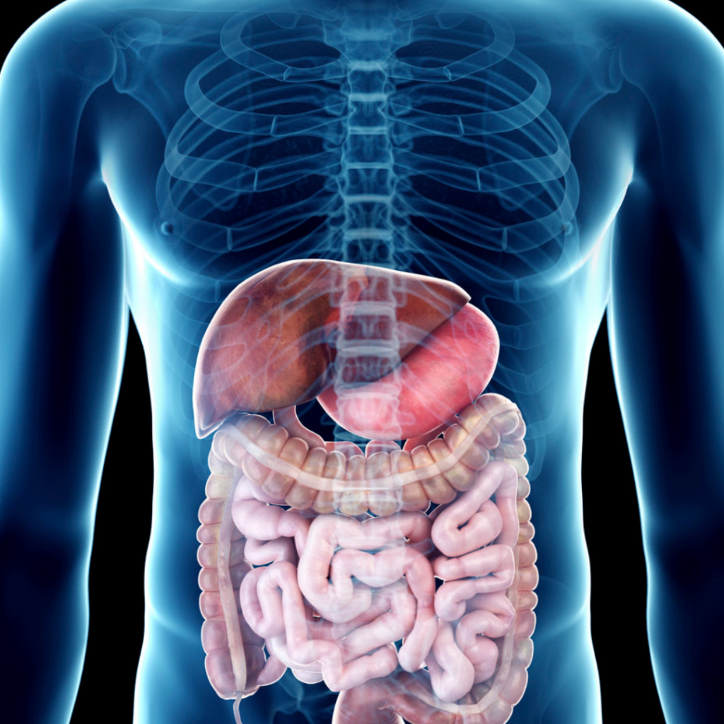 Position of gut microbiome in the human body